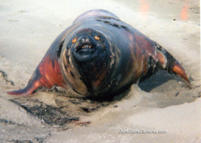 A bloated sealion.